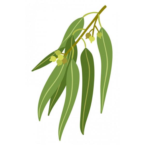 Eucalyptus citriodora 10ml